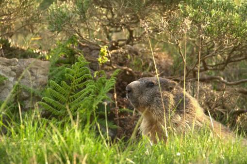 Marmotta Biandino