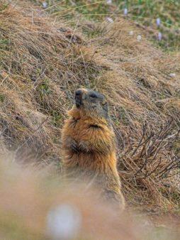 Marmotta Valsassina