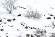 Camosci Val Biandino