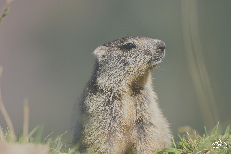 Marmotta Rifugio Griera