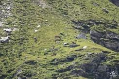 Cervi Val Zebrù
