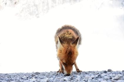 La volpe del Quinto Alpini