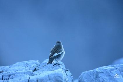 Bird Val Zebrù