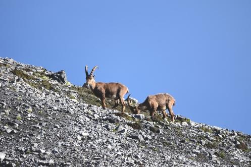 Stambecchi Val Zebrù