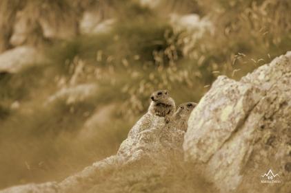 Marmotte sulle Alpi